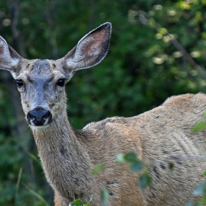 Chronic Wasting Disease a Concern for Ontario